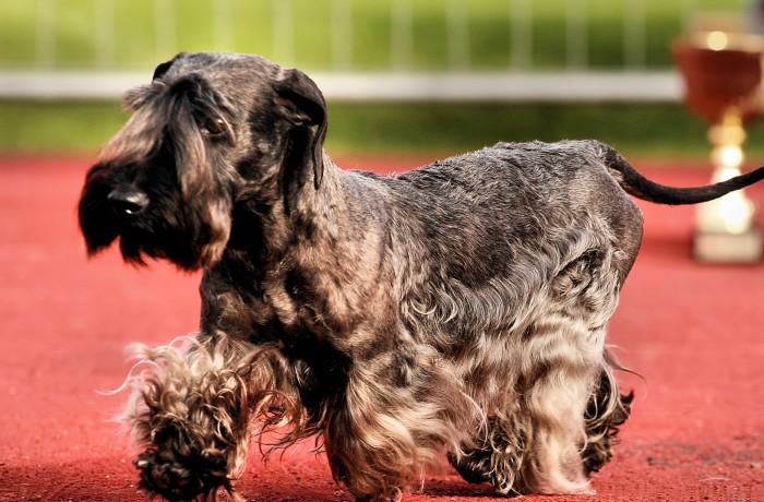 Cseh Terrier