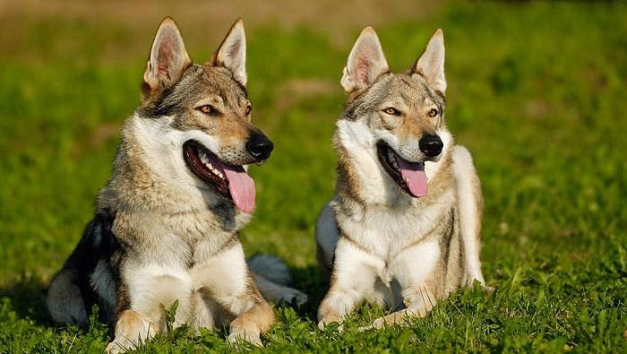 Csehszlovak farkaskutya