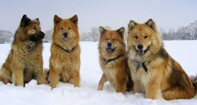 Eurazsiai kutya