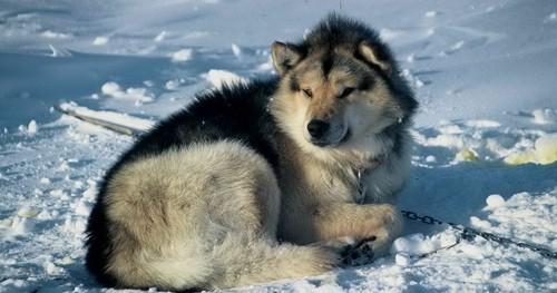 Grönlandi kutya