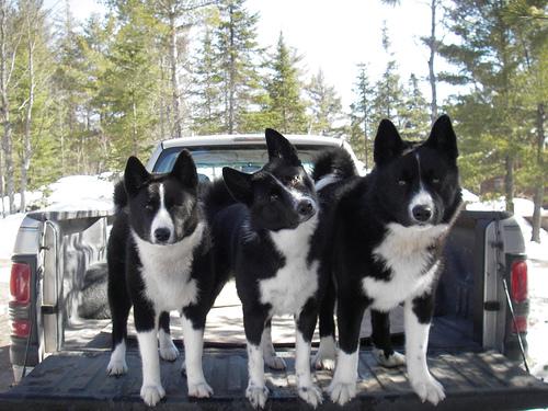 Kareliai madvevadasz kutya