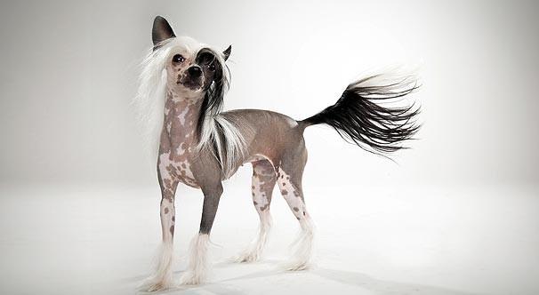 Kinai meztelen kutya