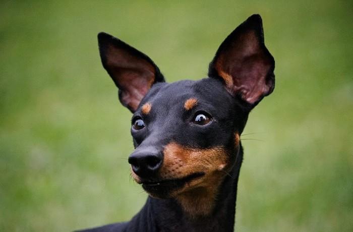 Kis angol terrier