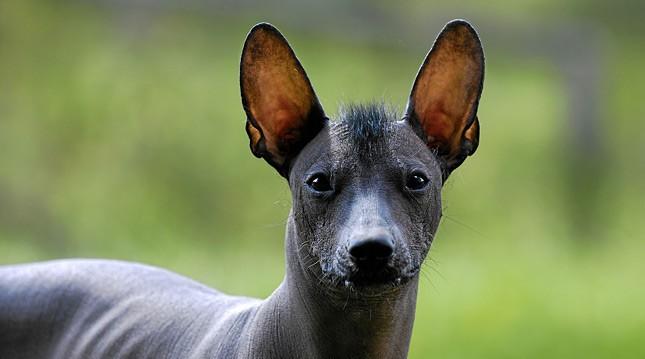 Mexikoi szörtelen kutya