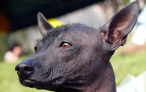 Perui meztelen kutya