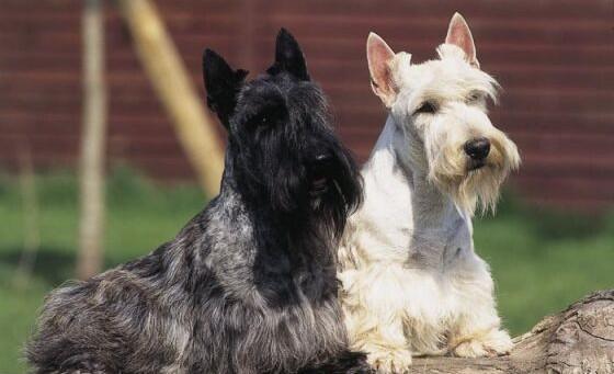Skot terrier