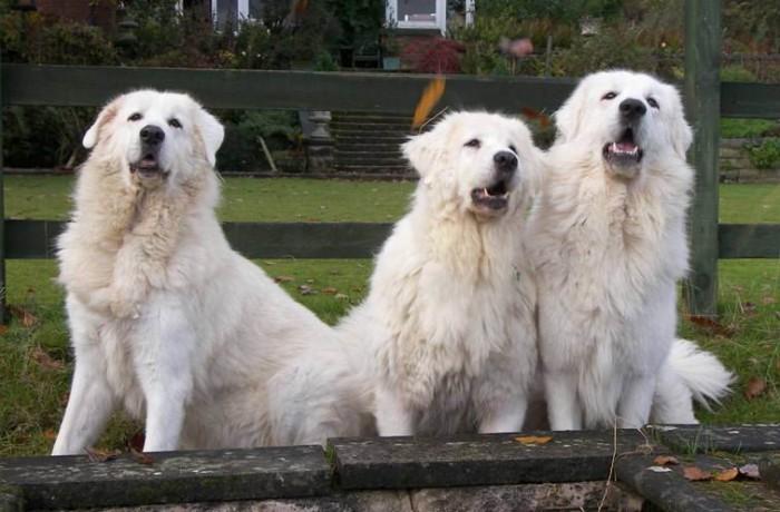 Abruzzói juhászkutya – Kutyaközpont