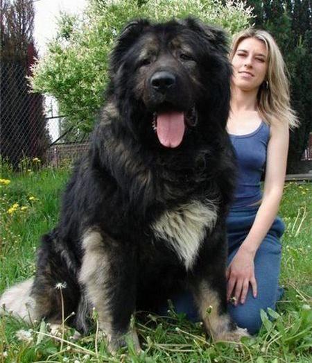 giant_dog